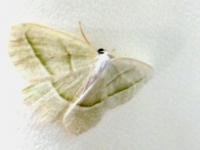 5a. Moth