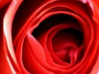 deep-rose.jpg