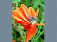 poppy-faery-2-web.jpg