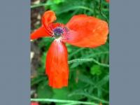 poppy-faery-5-web.jpg