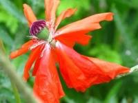 Faery Poppy