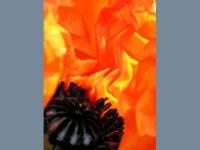 6. Poppy Fire